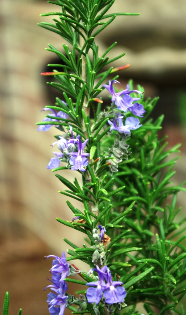 Rosemary with Blooms